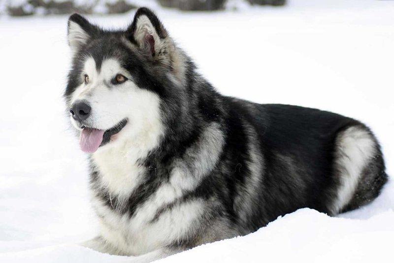 Аляскинский маламут: купить щенка маламута по доступной цене – большой выбор по хорошей цене на доске объявлений PetCare.ua