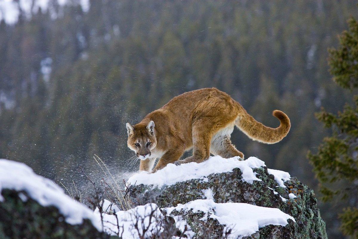 Горный лев