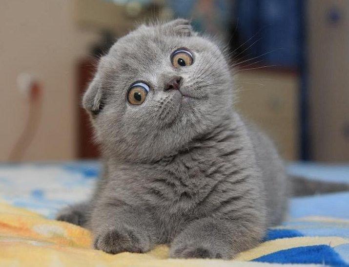 результате принимается фото котят шотландских веслоухих искренне