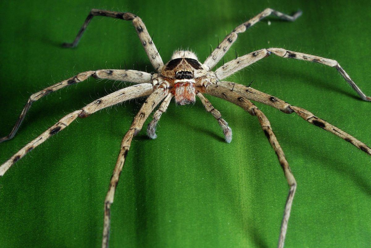 Сообщение о ядовитых пауках черная вдова без фото родители вынудили
