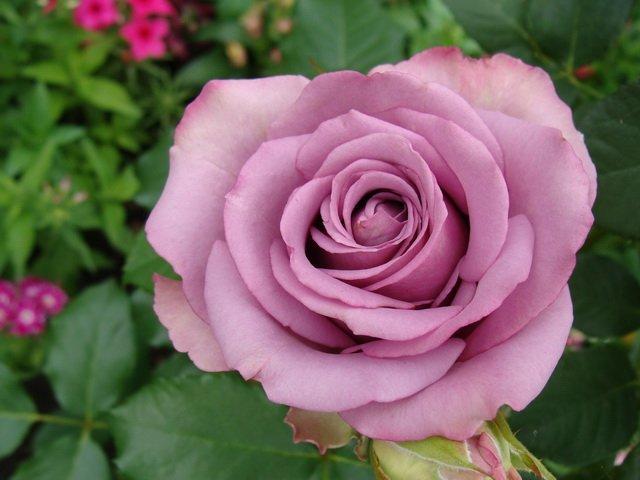 Роза чайно-гибридная  «Дип Вотер»  Высокий, плотный бутон, с правильным разворотом и нежным ароматом. Внутренние лепестки окрашены в розовые тона, крайние более темные. Цветок крупный, махровый, распускается медленно.