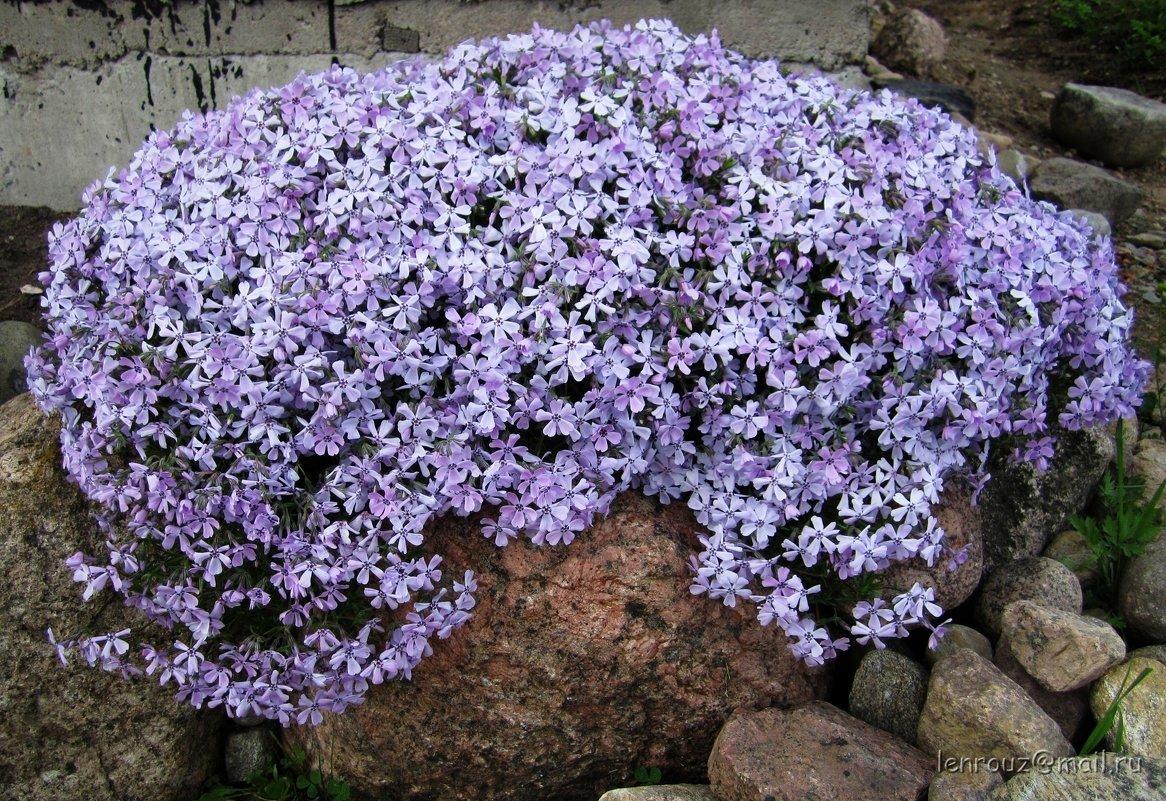 Фото цветов многолетников низкорослых