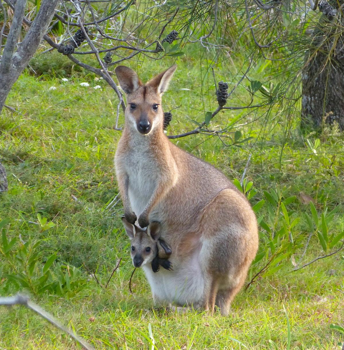 кенгуру детеныш фото этого верхней части