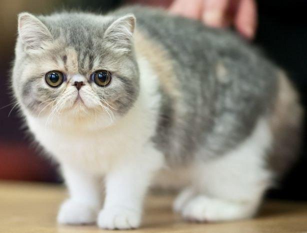 Кот густая шерсть