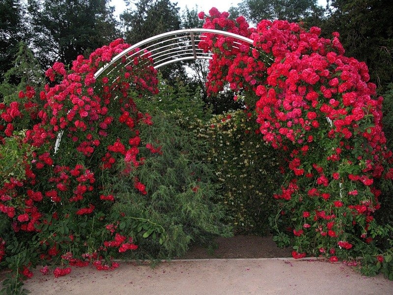 Удивительное решение ландшафтных дизайнеров: арка белого цвета и красные плетистые розы