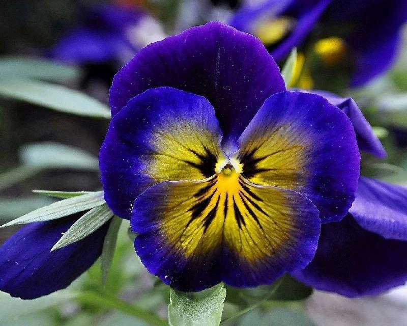 Цветы анютины глазки многолетние или однолетние