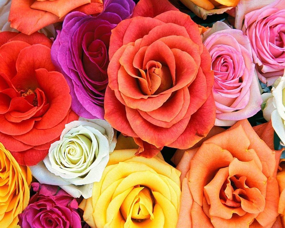 Розы цветные картинки красивые