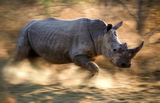 Кое-что о носорогах.