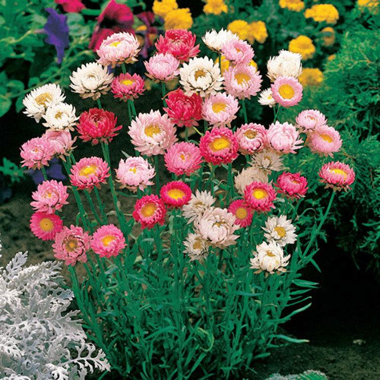 Бессмертник фото цветов на клумбе