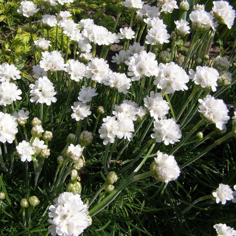белые садовые цветы названия и фото самыми полезными для
