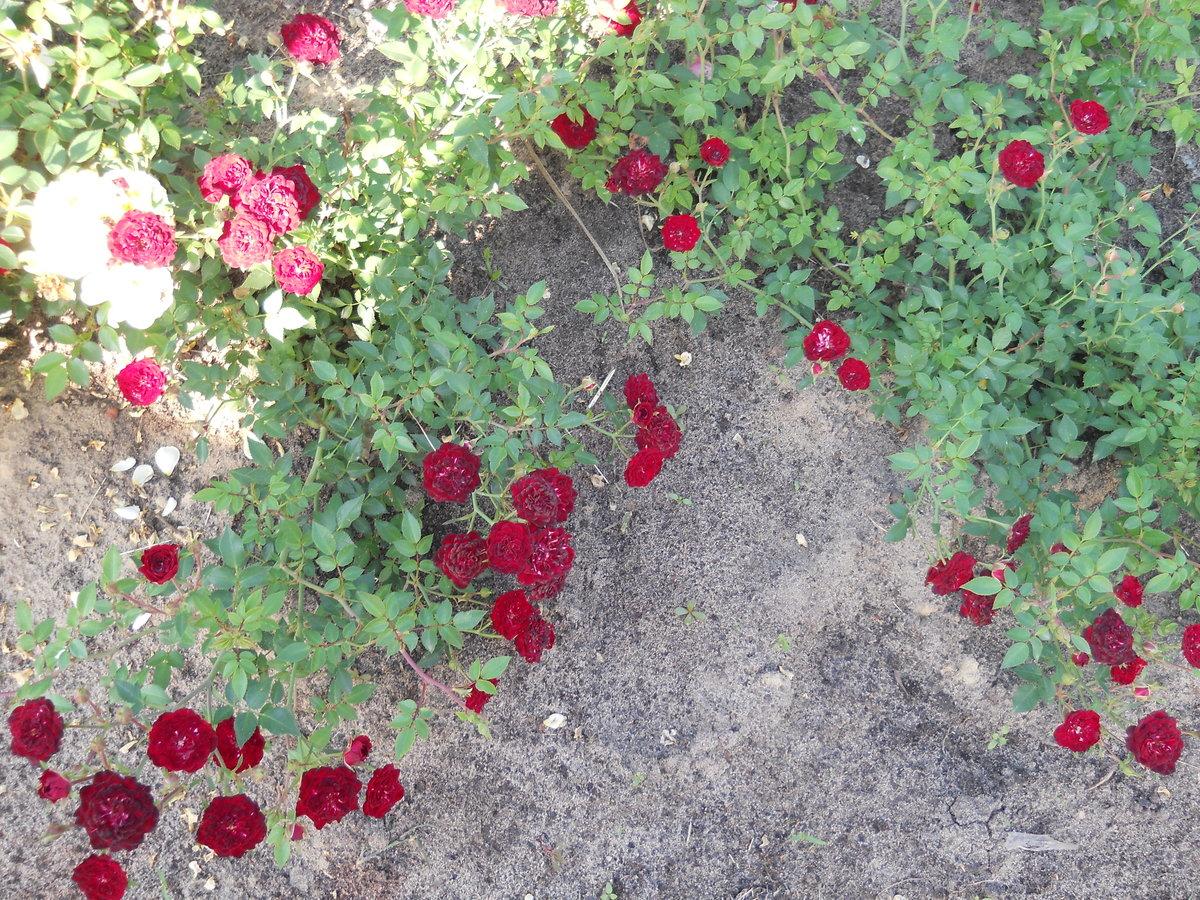 некоторых стелющиеся розы фото и названия забываем, что южных