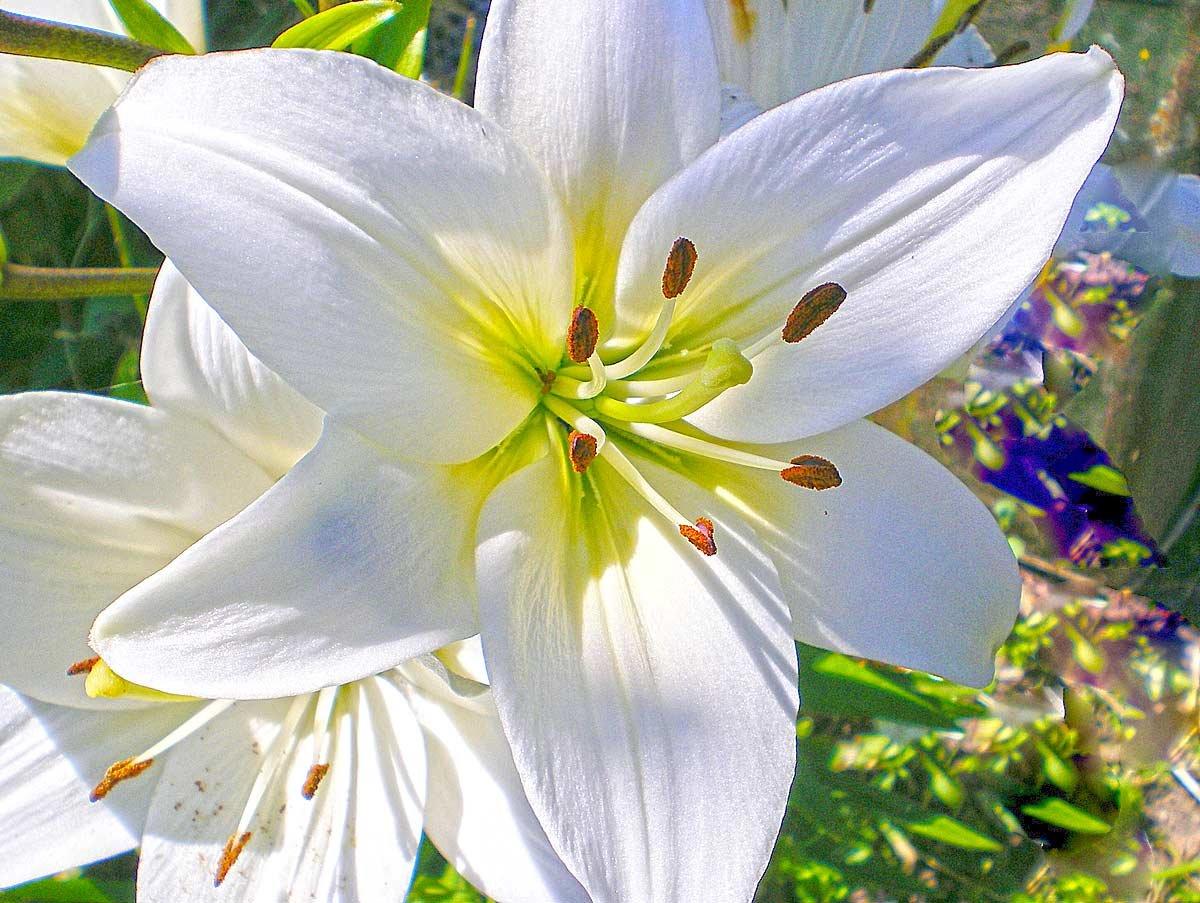 Картинки цветочков лилий