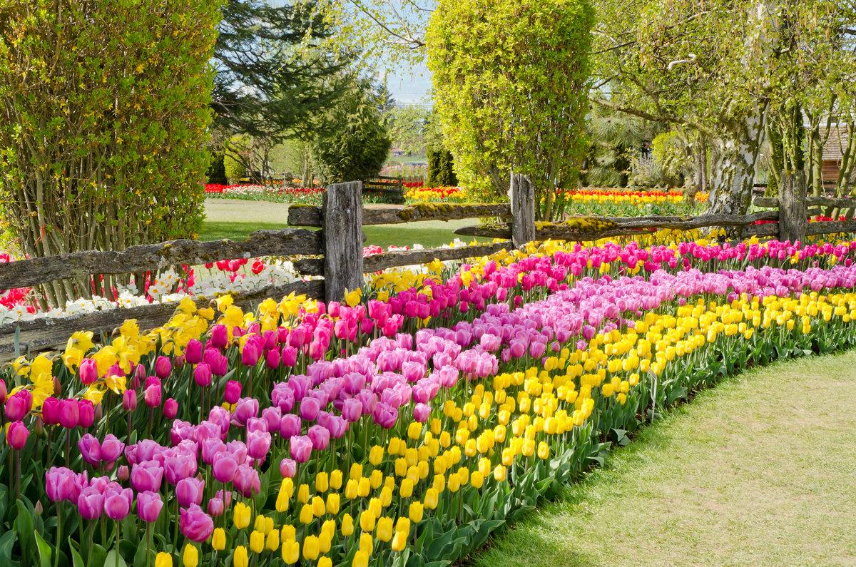 крыма, снятые клумбы с тюльпанами и нарциссами фото певица