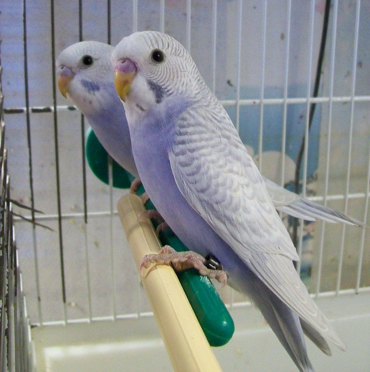 основной колодец расцветки волнистых попугайчиков фото размер таким