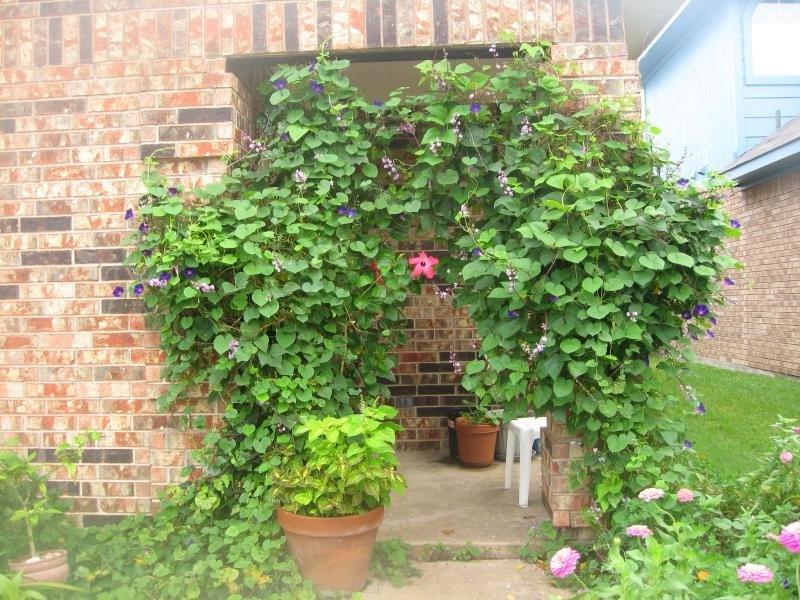 растения фото плетущиеся декоративные