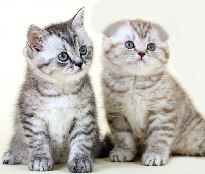 теплое все о шотландских котятах в картинках супружескую пару