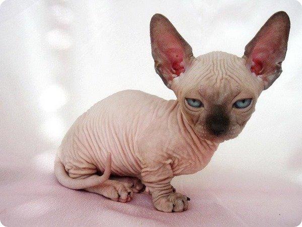 Облик кошки бамбино настолько уникален, что представителей этой породы мгновенно можно отличить от Ð´Ñ€ÑƒÐ³Ð¸Ñ Ð¿Ð¾ внешнему виду