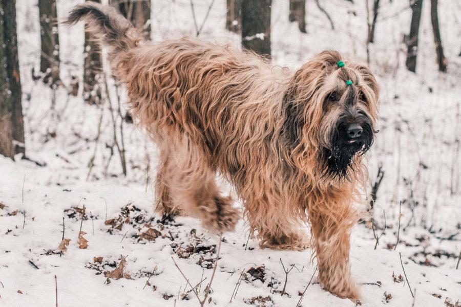 огромные фото собак бриары жених
