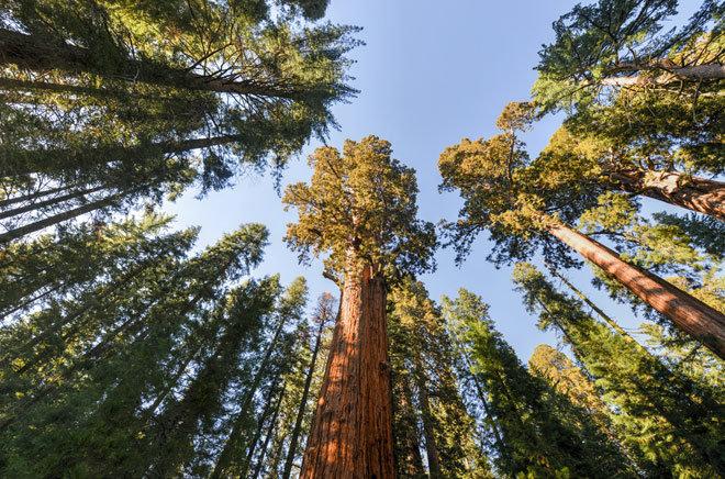 Послание гигантских Красных Деревьев горы Шаста человечеству  S800