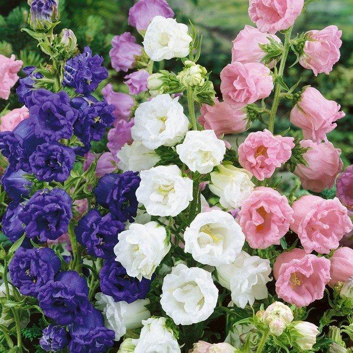 виды, кампанелла цветок фото садовый цвета радуги