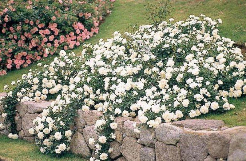 розы стелющиеся фото