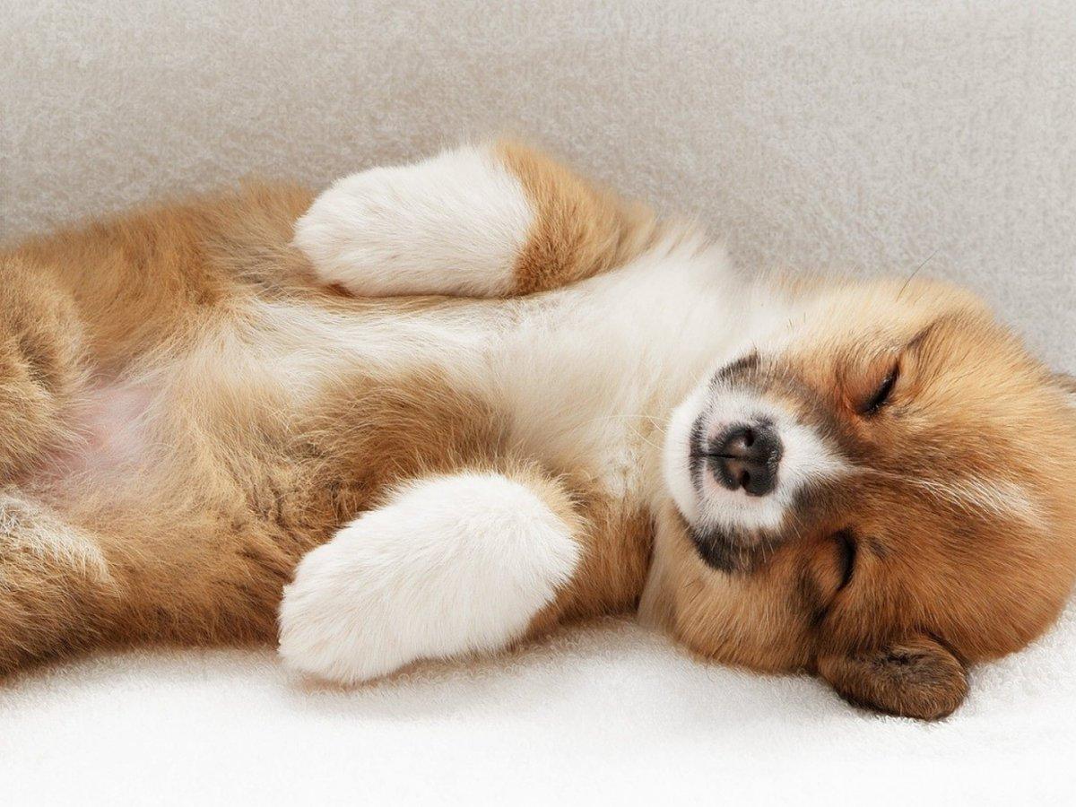 Щенок вельш-корги спит
