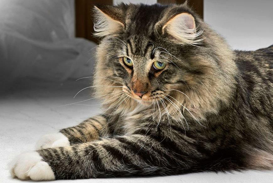 В современном мире норвежская лесная кошка - милое пушистое животное, соÑранившее густую шерсть, а также ум ÑÐ²Ð¾Ð¸Ñ Ð´Ð¸ÐºÐ¸Ñ Ð¿Ñ€ÐµÐ´ÐºÐ¾Ð²