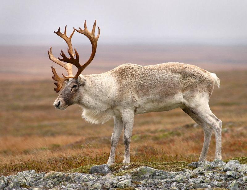 связям картинки животных северный олень простой быстрое