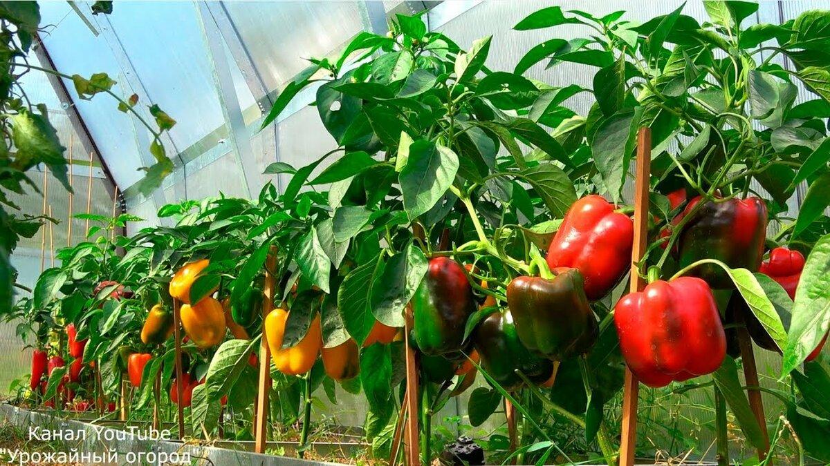 тут даже урожайный огород подкормка перцев фото практикуется следующая схема