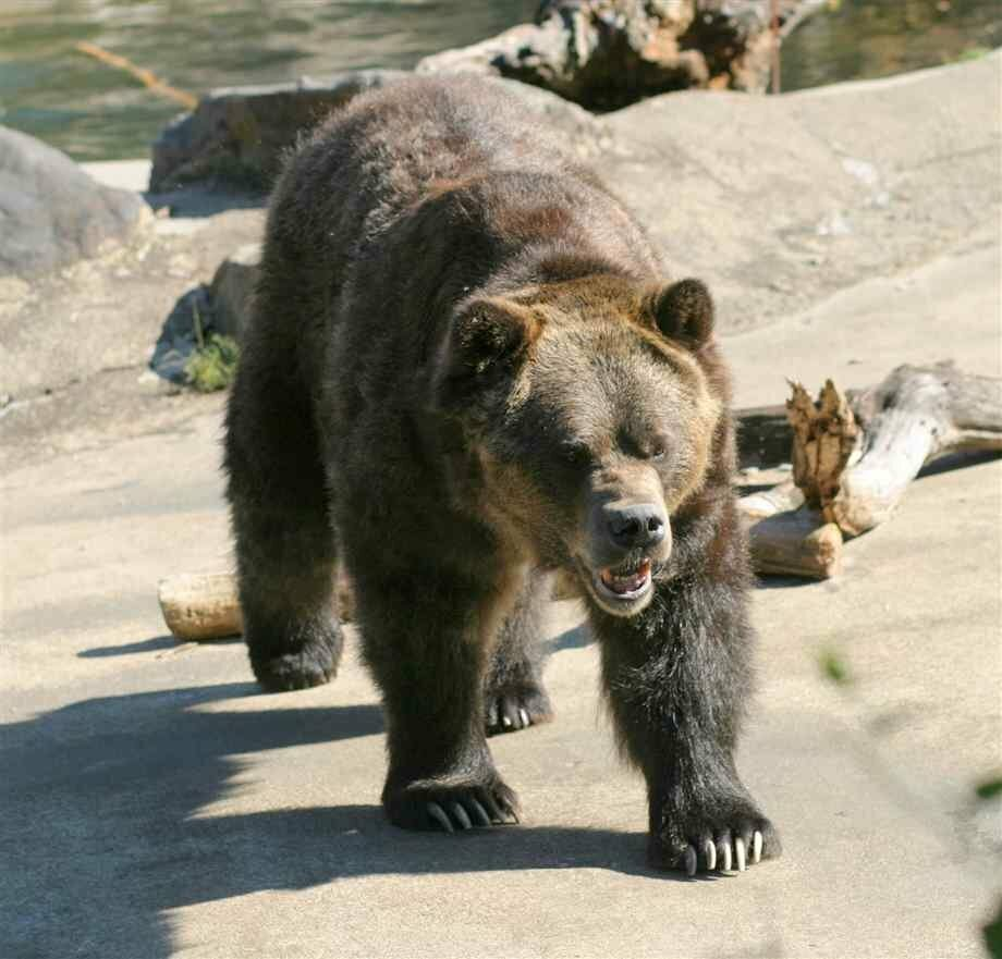 особенности самые большие известные медведи фото картина