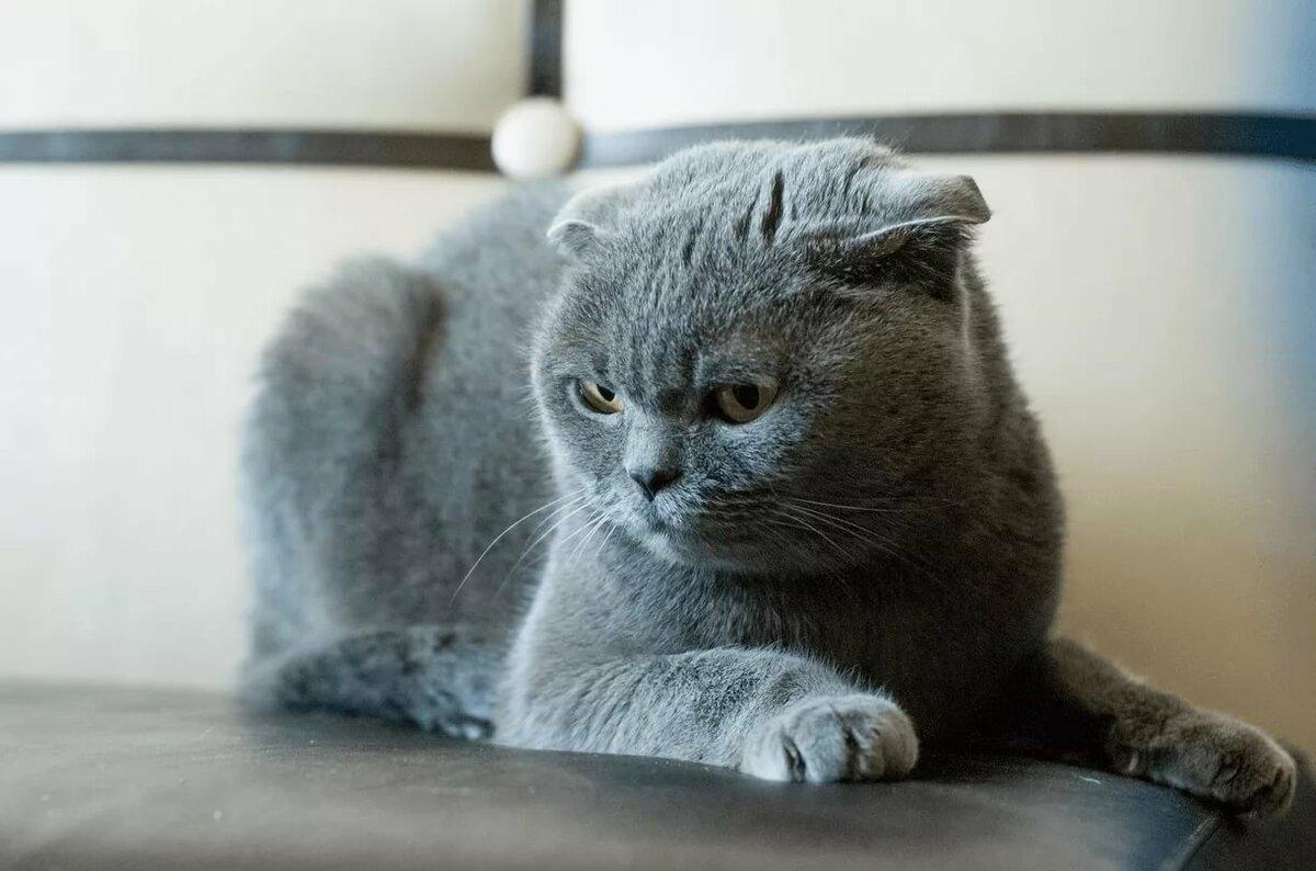 целом картинки котят вислоухих британцев серые квартиру