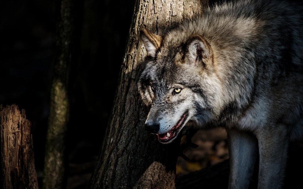 картинки на рабочий стол оскал волка красивых