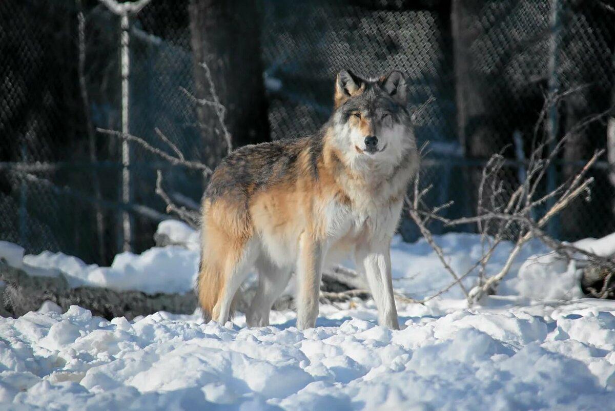 супер, шикарные фото русских волков стоимость вашей фотосессии