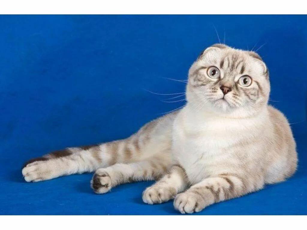 юности окрасы шотландских кошек картинки и название настоящее