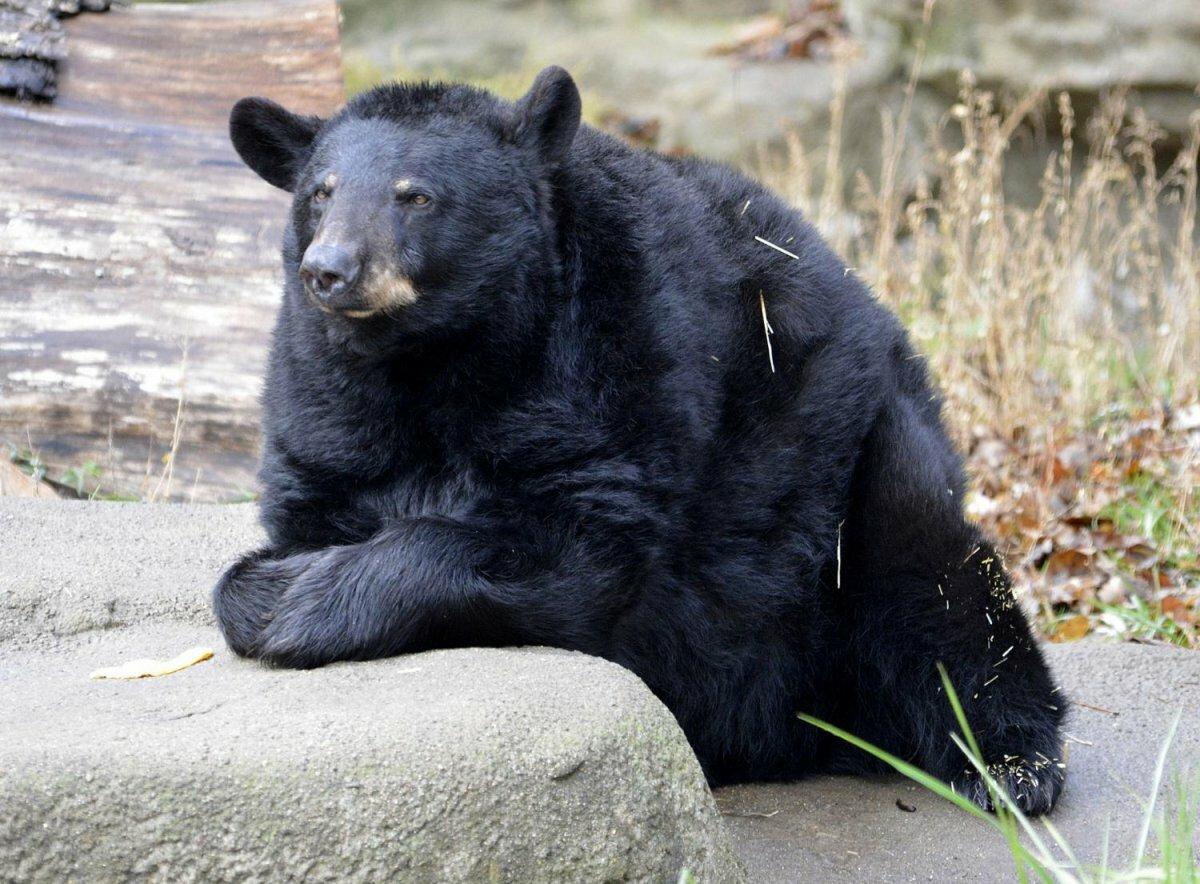 Картинка медведь черный