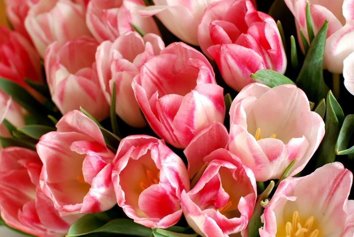 Красивая картинка тюльпаны