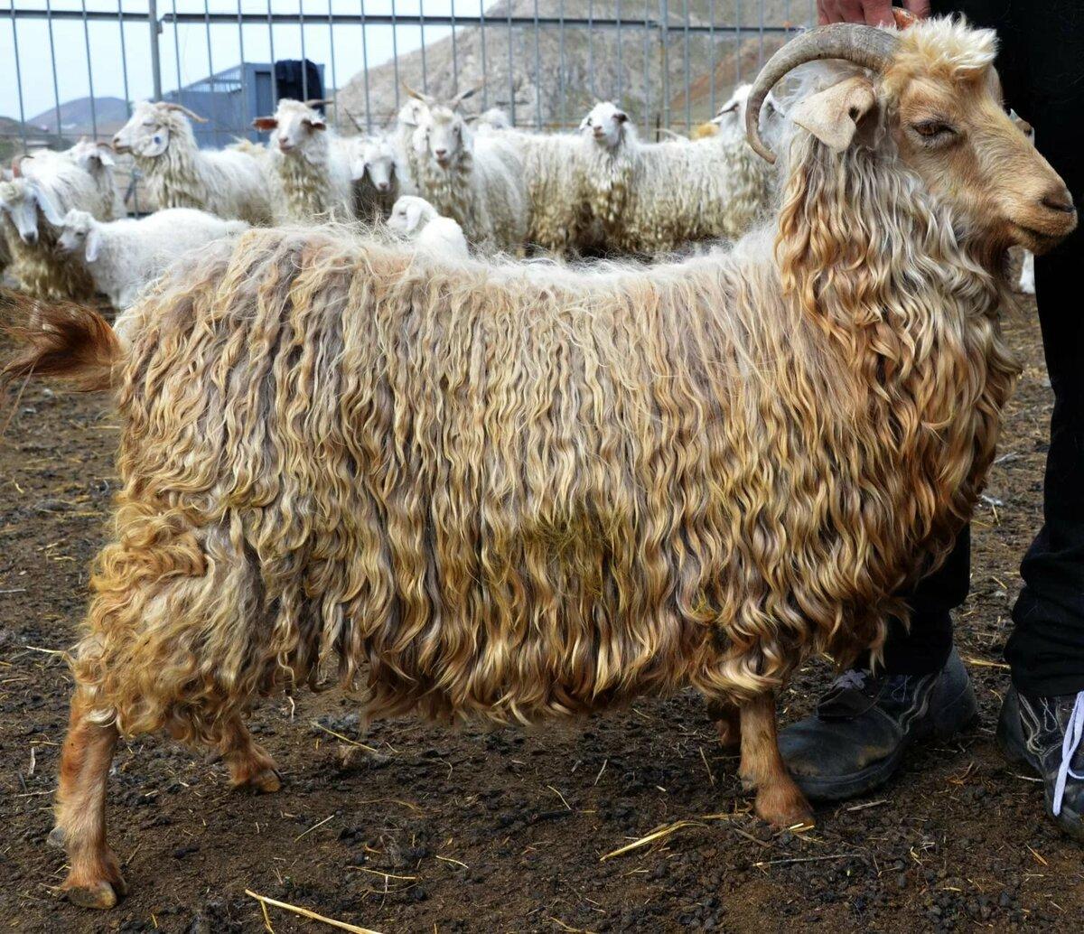 того картинка шерсть козы есть несколько