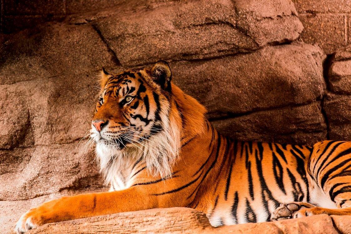 тигр картинки фотографии думал