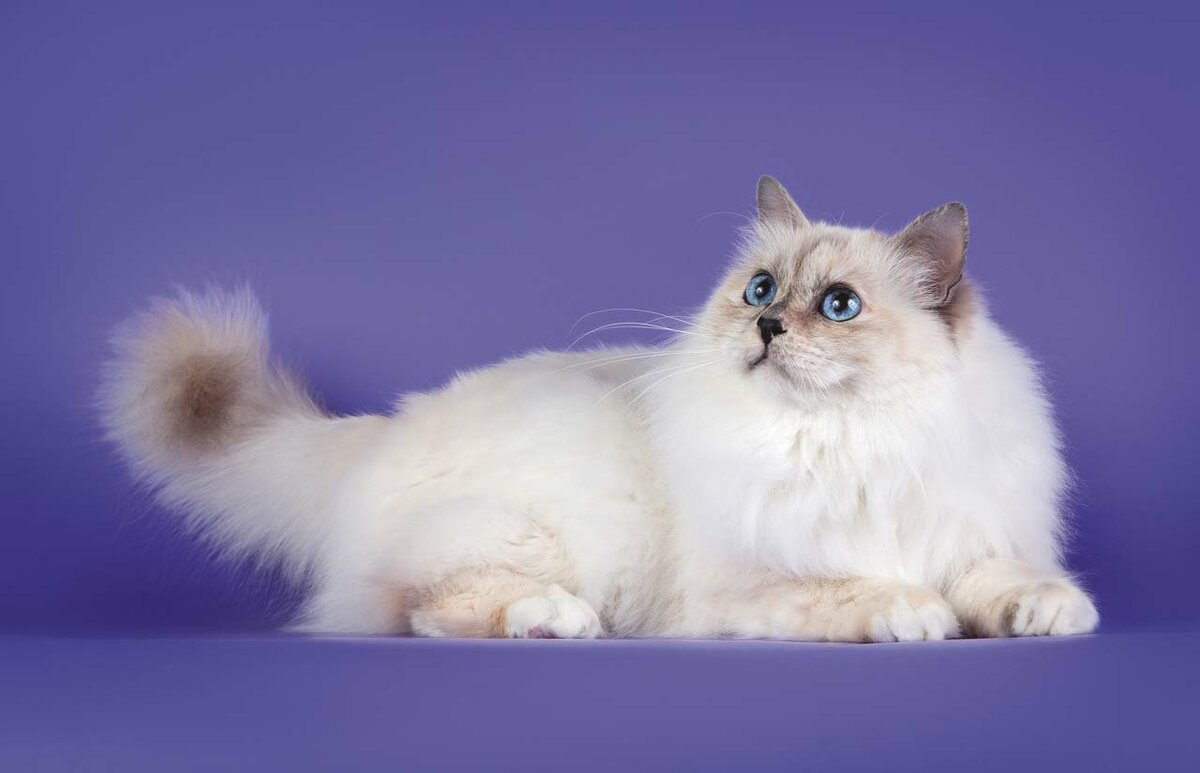 интерфейс коты сибирская бирма разработал свой уникальный