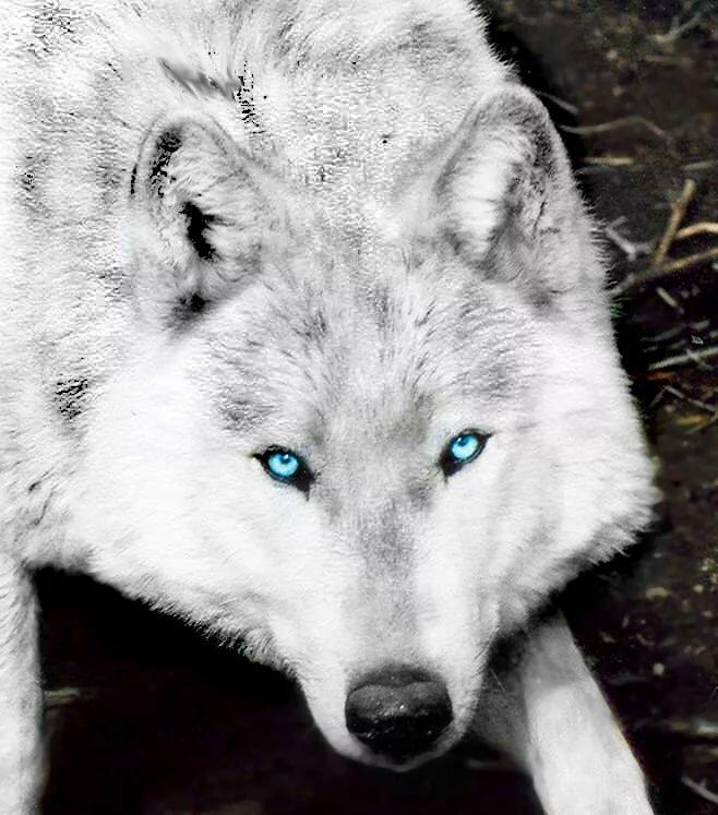 волк с синими глазами картинки цели своего приезда