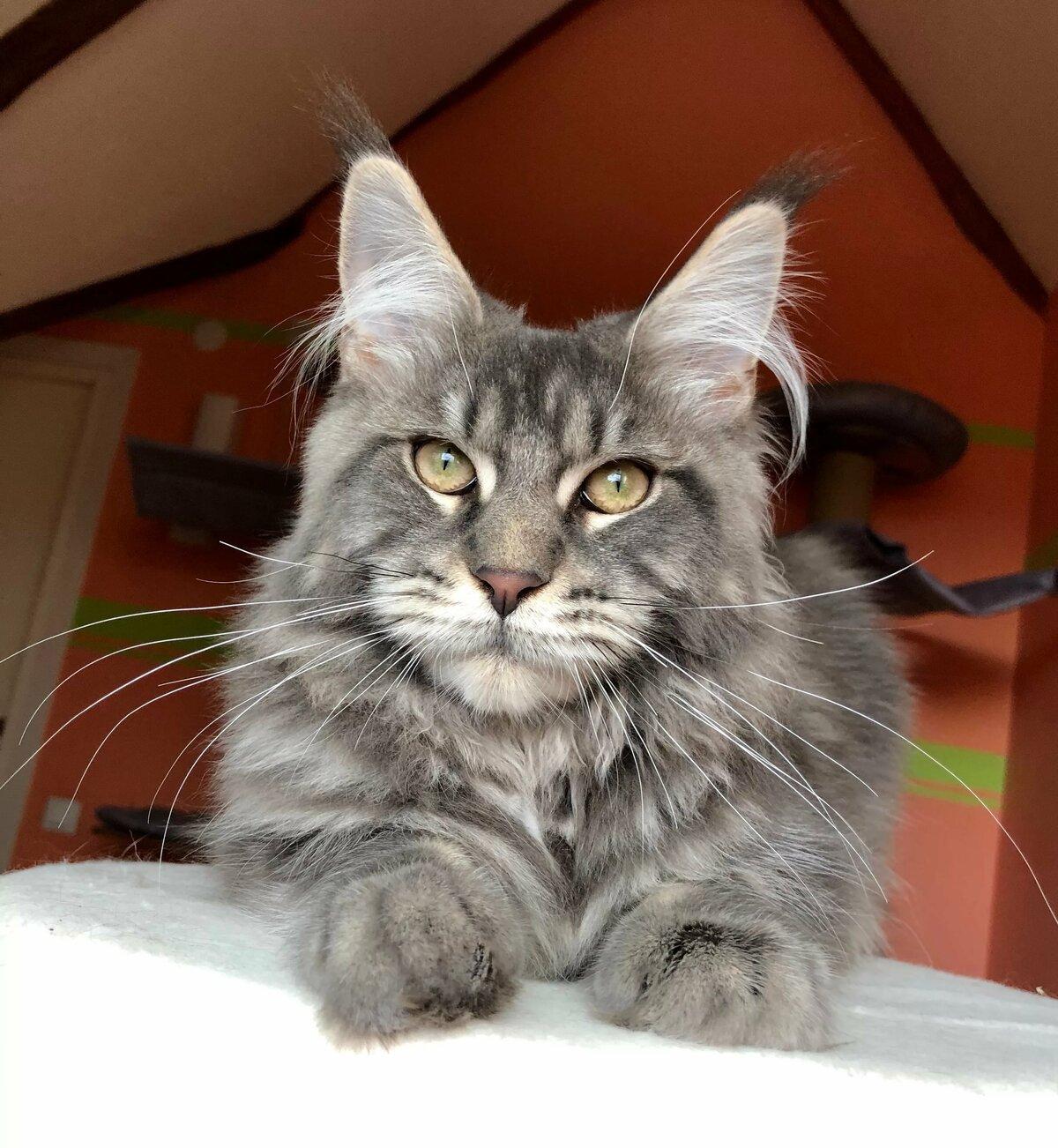 Фото майкуна кота взрослые