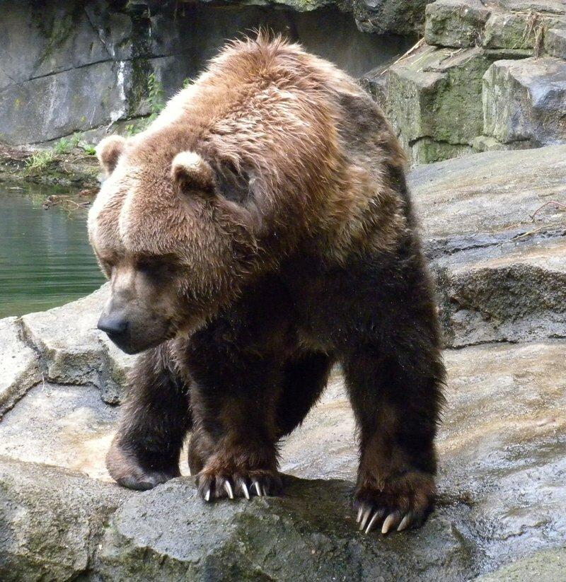 этом медведь кадьяк картинка человек втерся доверие
