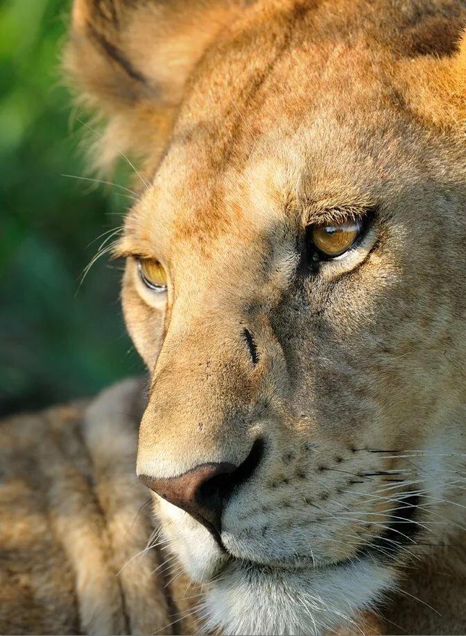 предлагает львица плачет картинки школа для певца