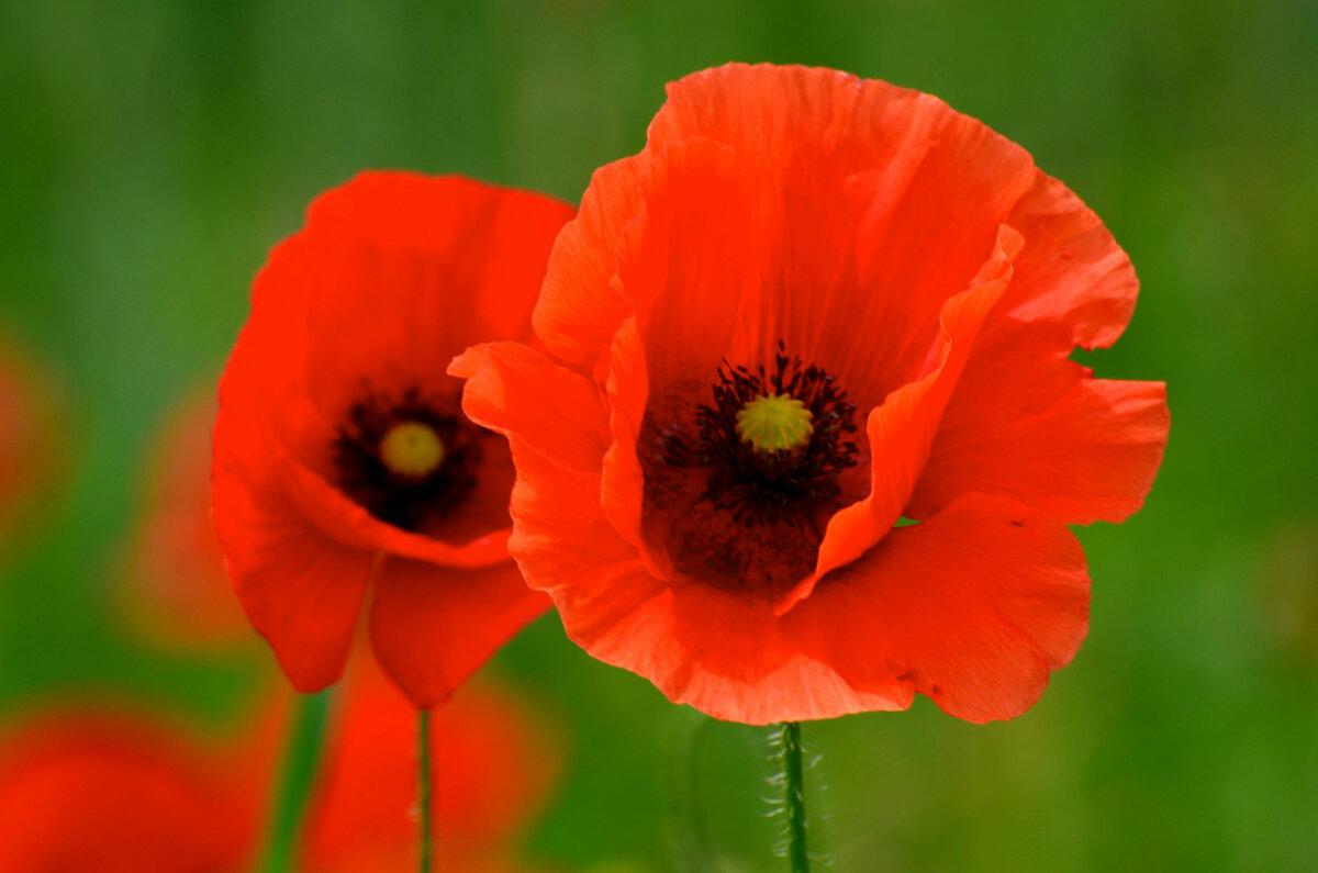 Картинки с изображением цветка мака