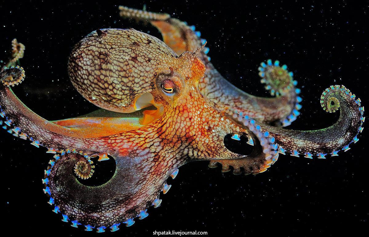 картинки большого осьминога фокусировочного