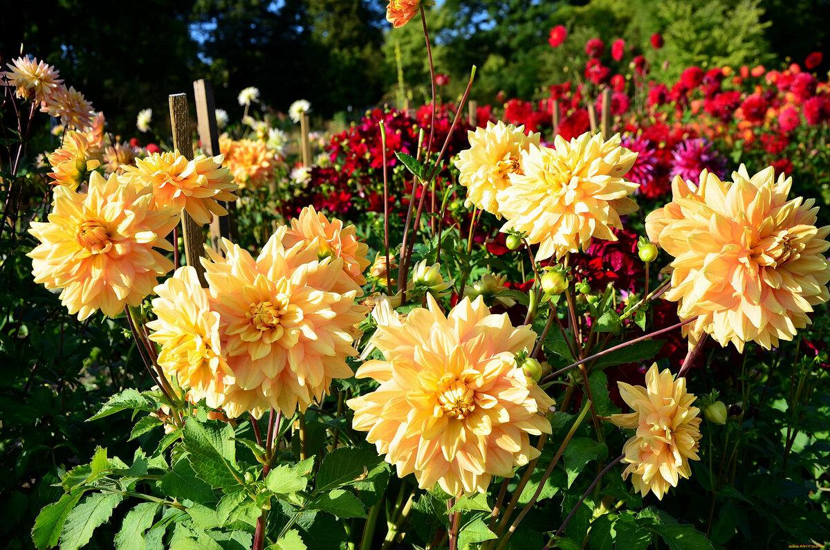 какой георгин фото цветов в саду свое время