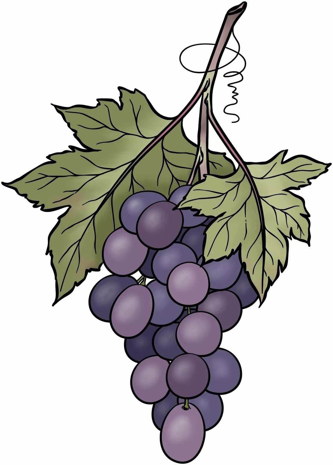 Картинка виноградная лоза рисовать