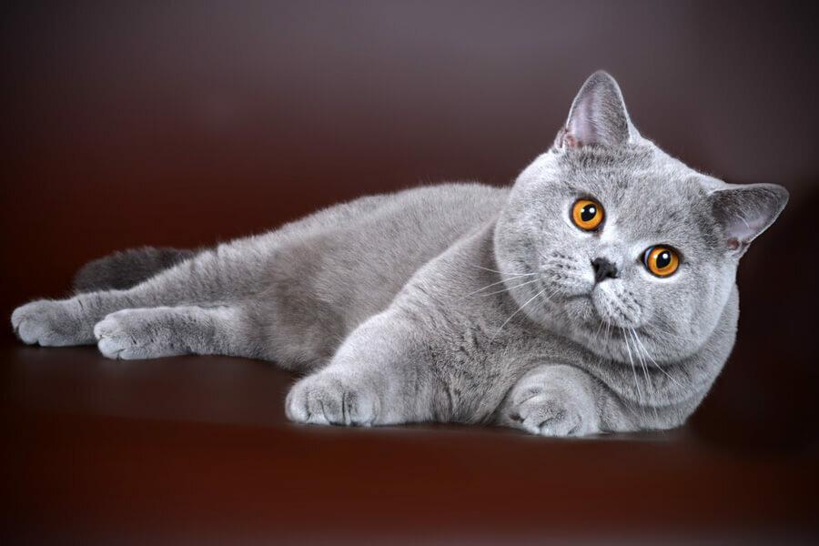 все картинки британских кошек тихую погоду небольшой