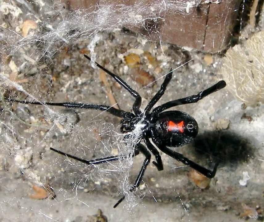картинки ядовитых пауков на украине кто