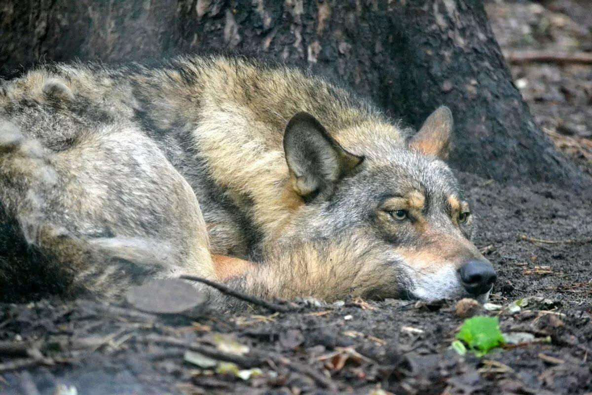 картинки страдающего волка рекуператор воздуха